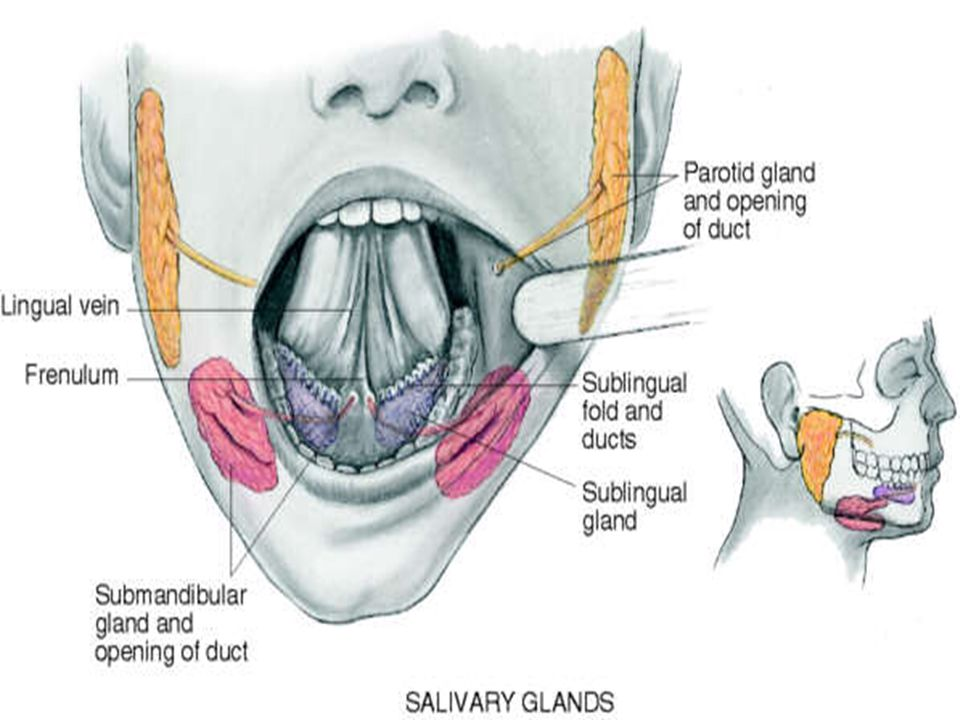 Ears, Nose, Mouth, Throat. - ppt download