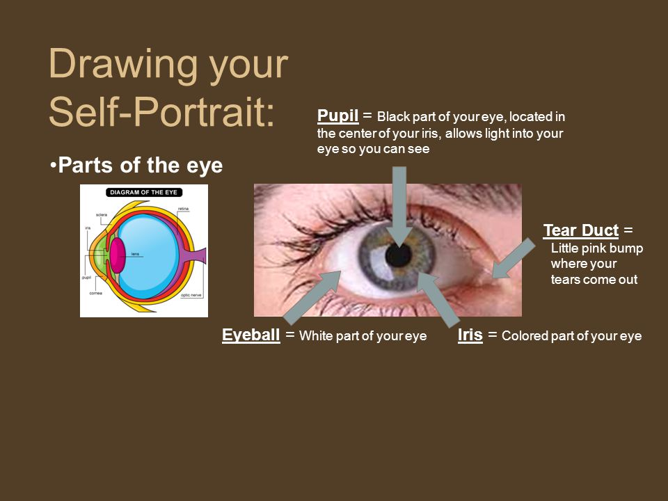 Parts of the eye Drawing your Self-Portrait: Iris = Colored part of your eye Eyeball = White part of your eye Pupil = Black part of your eye, located in the center of your iris, allows light into your eye so you can see Tear Duct = Little pink bump where your tears come out