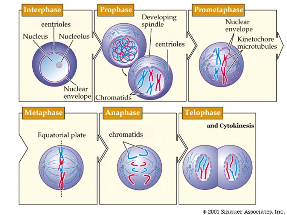 Blok genetika kedokteran dr arfianti momed m ppt download 13 meiosis proses gametogenesis spermatogenesis dan oogenesis sel gamet dengan jumlah kromosom separuh dari jumlah kromosom sel somatik ccuart Image collections