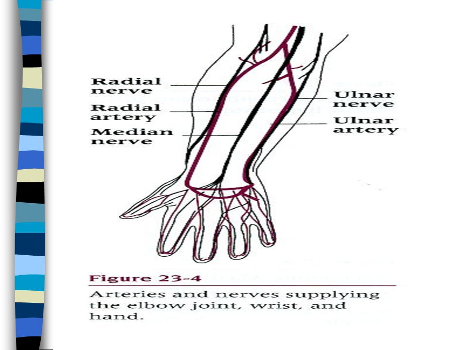 The Elbow Chapter 23. n Bones: composed of 3 bones »- »Articulations ...