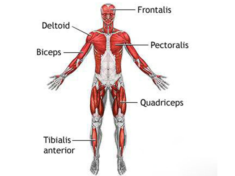 Functions Of Skeletal Muscles Ppt Download