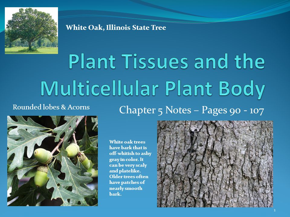 Chapter 5 Notes – Pages White Oak, Illinois State Tree White oak trees have bark that is off-whitish to ashy gray in color.