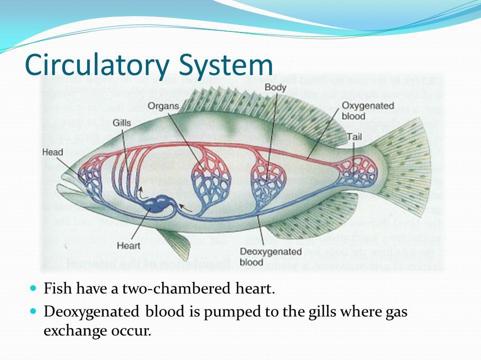 5 circulatory system fish
