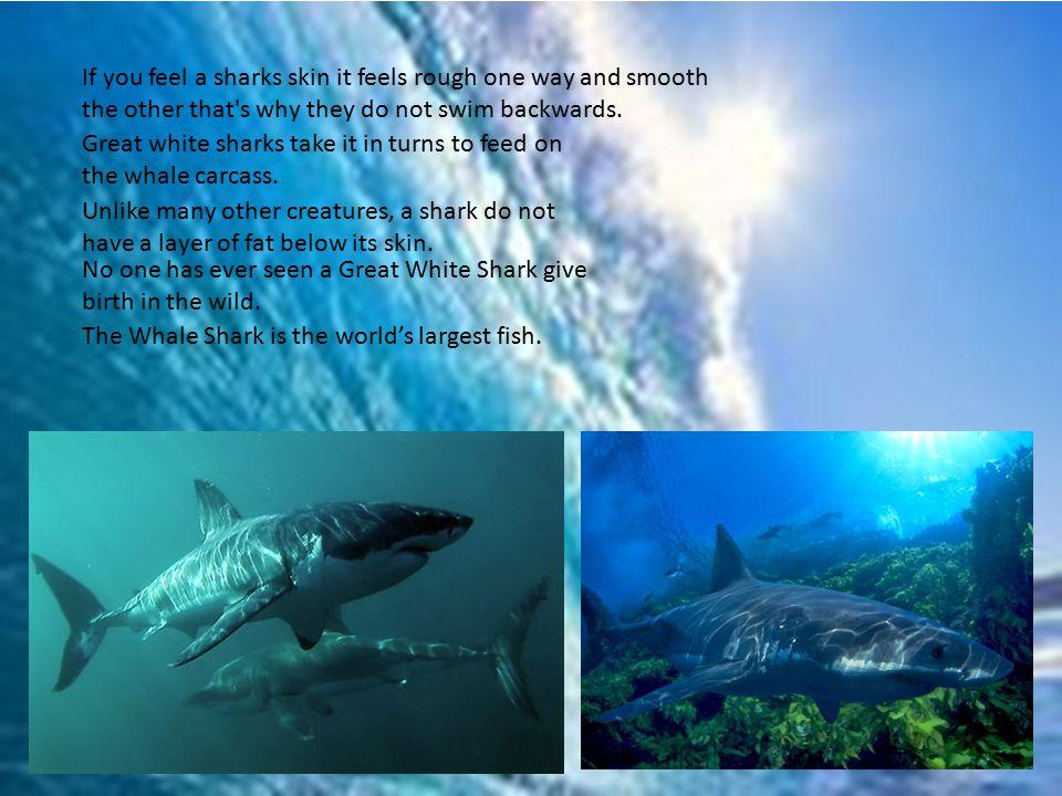 Shark Bled