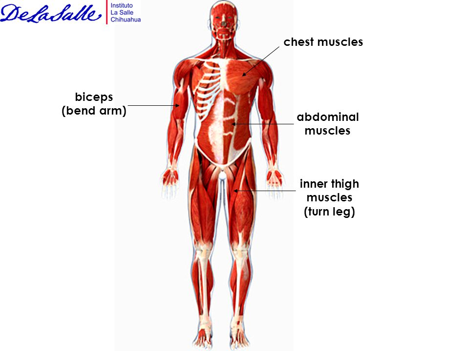 The Muscular System Muscles That Move Your Body Are Attached To
