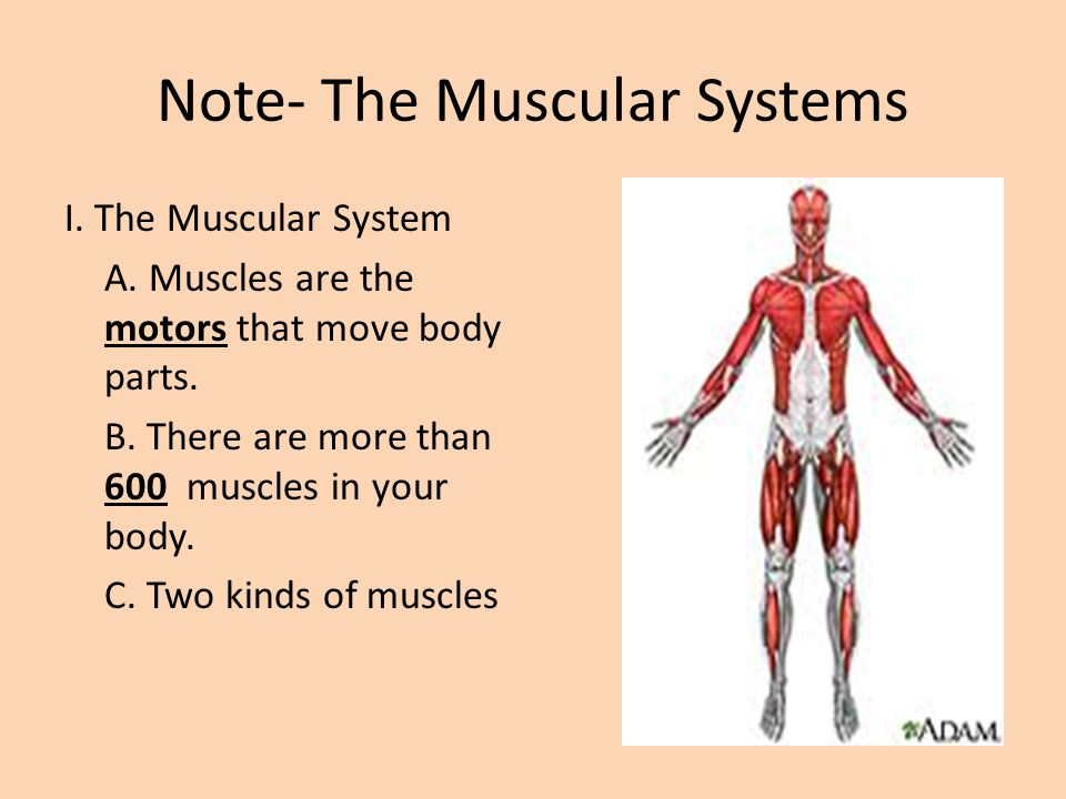 The Muscular System Notes. Note- The Muscular Systems I. The ...