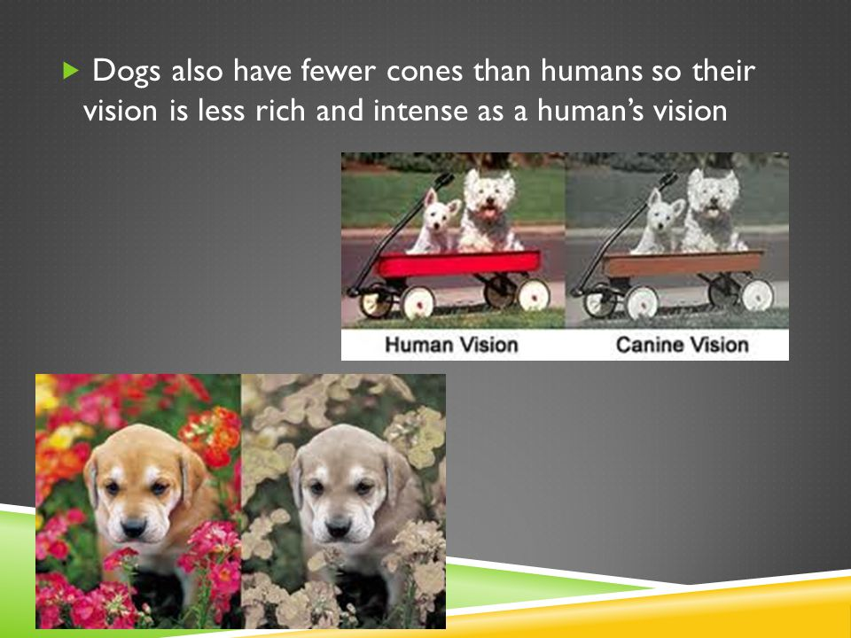  Dogs also have fewer cones than humans so their vision is less rich and intense as a human's vision