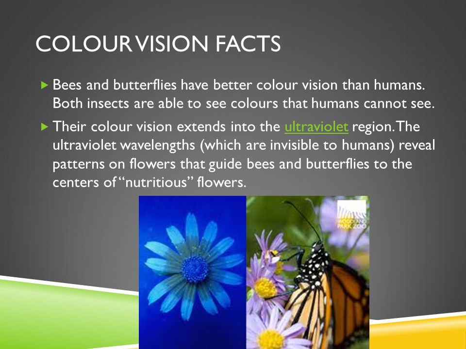COLOUR VISION FACTS  Bees and butterflies have better colour vision than humans.