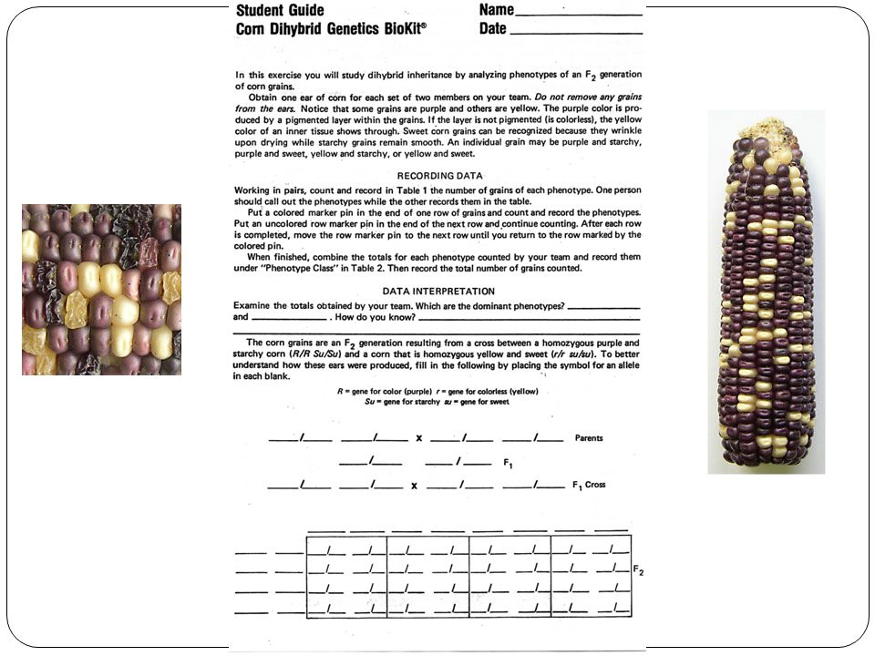 exercise 17 bio 112 genetics lab there are four grain phenotypes in rh slideplayer com Corn Genetics Lab Answers mendelian genetics of corn kit student guide answers