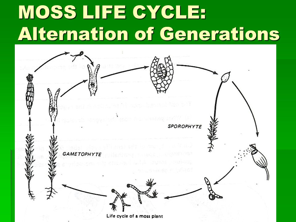 MOSS LIFE CYCLE: Alternation of Generations
