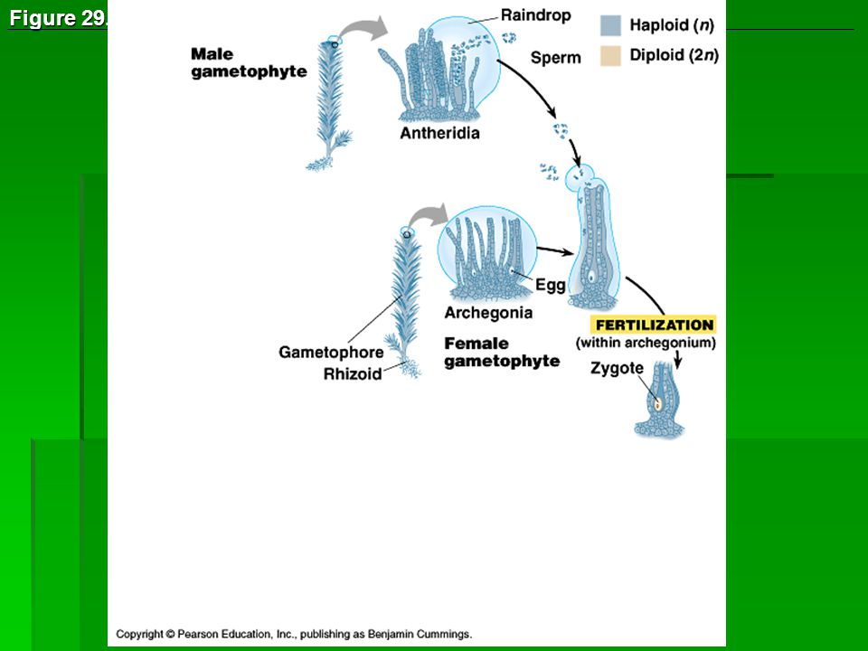 Figure The life cycle of Polytrichum, a moss (Layer 1)