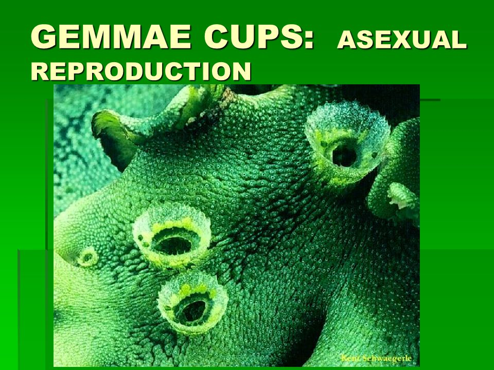 GEMMAE CUPS: ASEXUAL REPRODUCTION