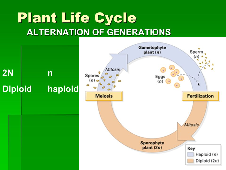 Plant Life Cycle ALTERNATION OF GENERATIONS 2Nn Diploidhaploid
