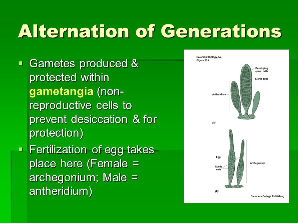 Alternation of Generations  Gametes produced & protected within (non- reproductive cells to prevent desiccation & for protection)  Gametes produced & protected within gametangia (non- reproductive cells to prevent desiccation & for protection)  Fertilization of egg takes place here (Female = archegonium; Male = antheridium)