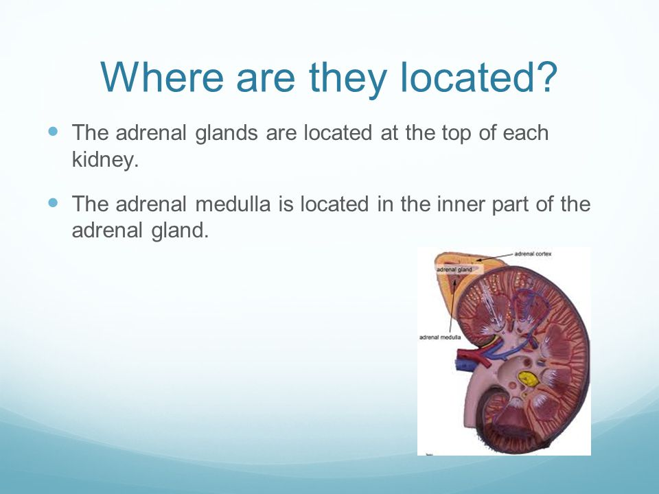 Where are they located. The adrenal glands are located at the top of each kidney.