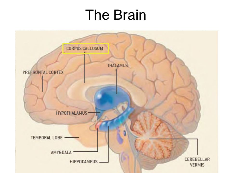 The Brain. Extreme abuse / neglect Perry, 1997 Abuse affects corpus ...