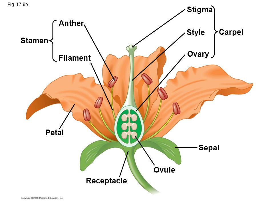 Fig. 17-8b Stamen Anther Filament Petal Receptacle Ovule Sepal Stigma Style Ovary Carpel