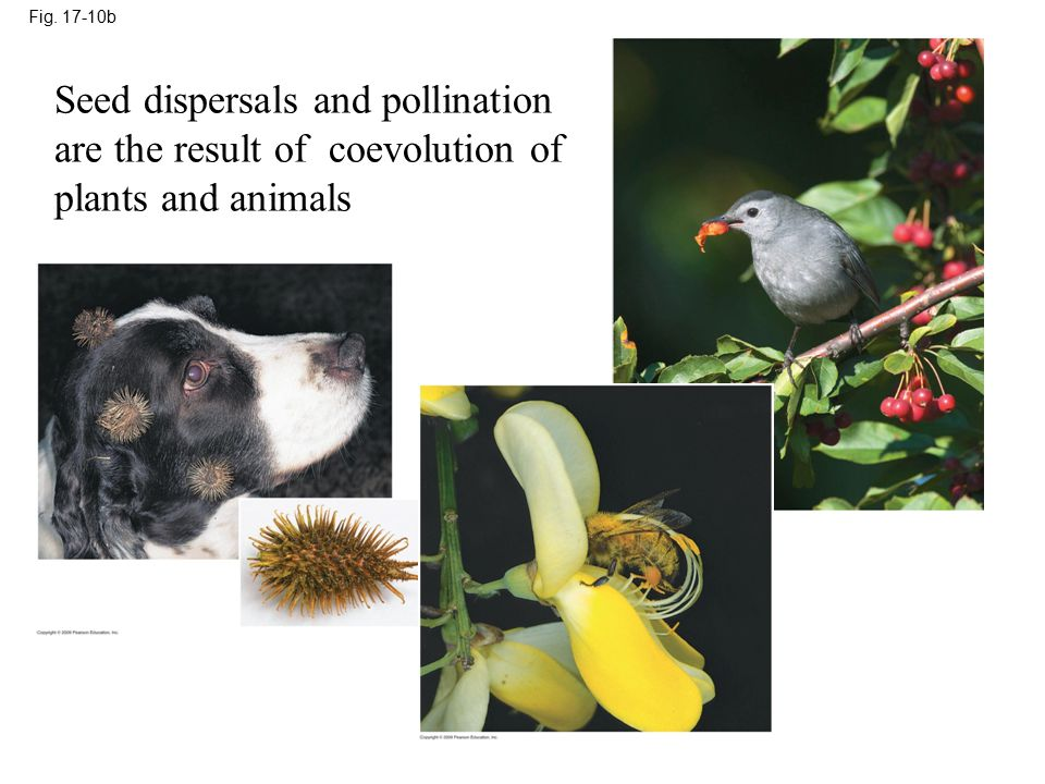Fig b Seed dispersals and pollination are the result of coevolution of plants and animals