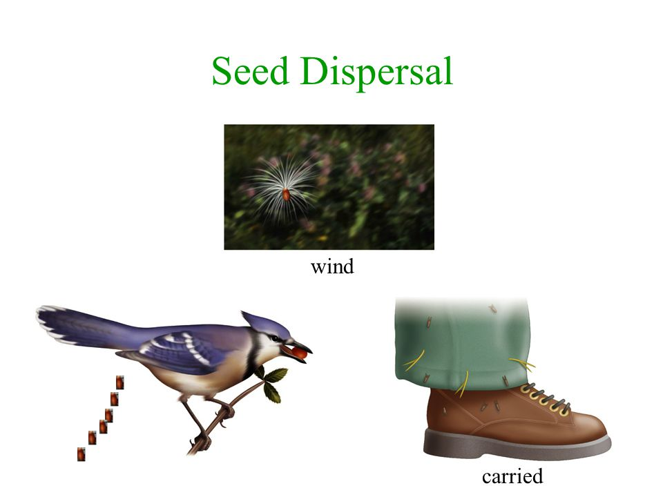 Seed Dispersal wind carried