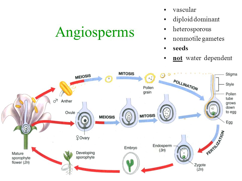 Angiosperms vascular diploid dominant heterosporous nonmotile gametes seeds not water dependent