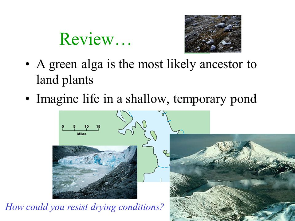 Review… A green alga is the most likely ancestor to land plants Imagine life in a shallow, temporary pond How could you resist drying conditions