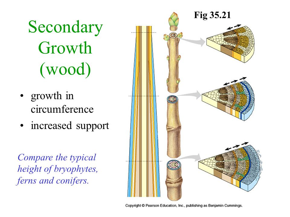Secondary Growth (wood) growth in circumference increased support Fig Compare the typical height of bryophytes, ferns and conifers.