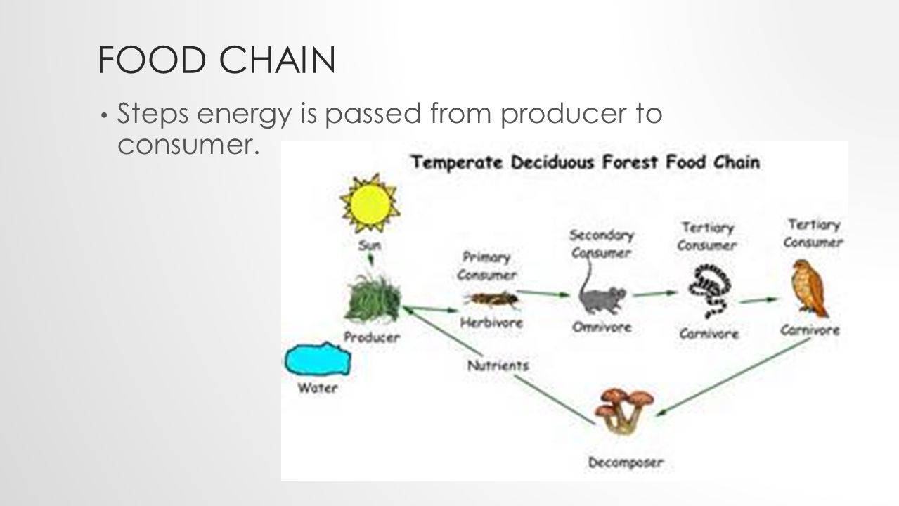 FOOD CHAIN Steps energy is passed from producer to consumer.