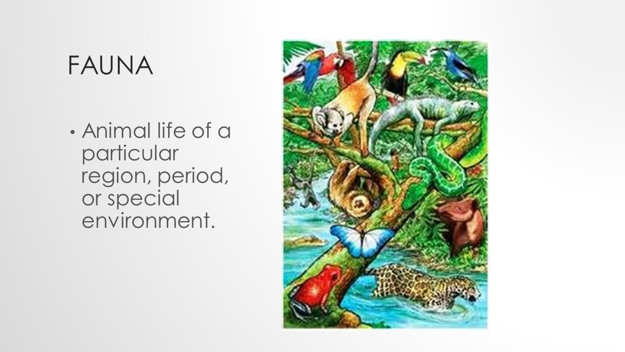 FAUNA Animal life of a particular region, period, or special environment.