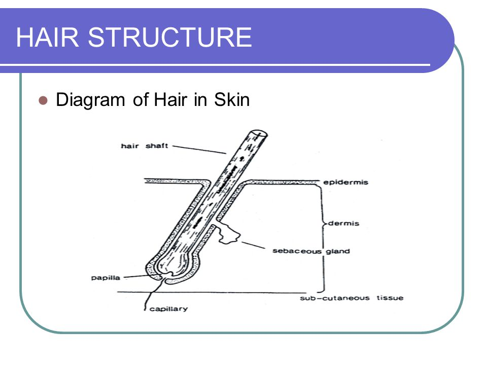 Types Of Hairs Primordial Hairs Appear As Early As The Beginning