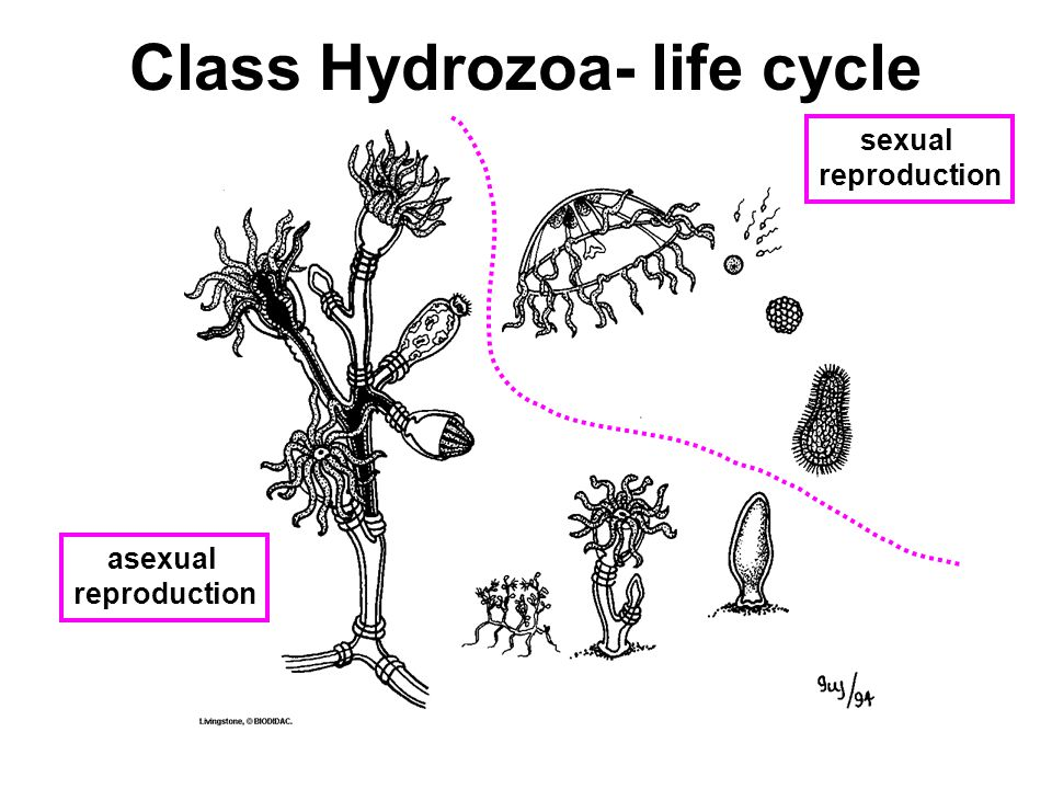 Hydrozoa asexual reproduction fission