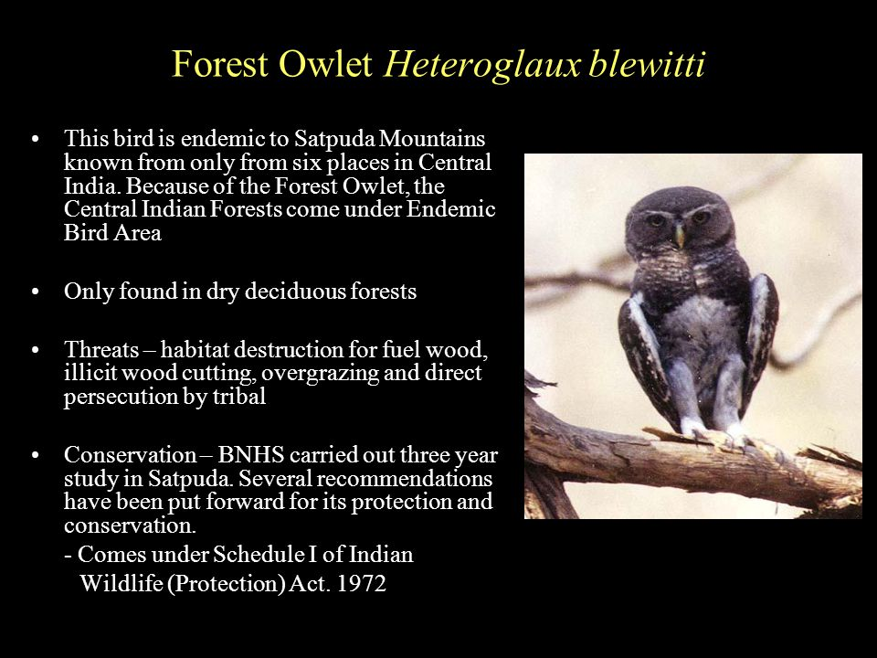 Forest Owlet Heteroglaux blewitti This bird is endemic to Satpuda Mountains known from only from six places in Central India.