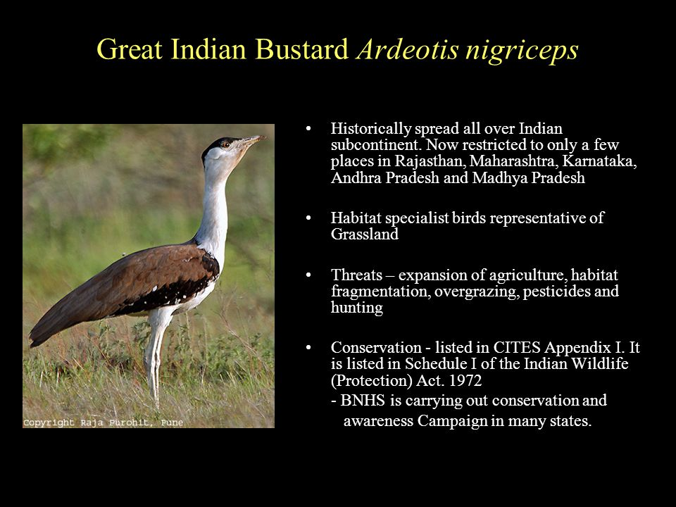 Great Indian Bustard Ardeotis nigriceps Historically spread all over Indian subcontinent.