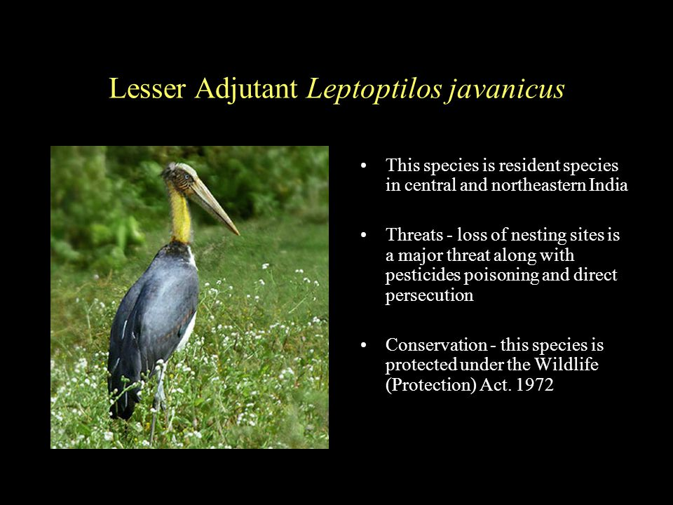 Lesser Adjutant Leptoptilos javanicus This species is resident species in central and northeastern India Threats - loss of nesting sites is a major threat along with pesticides poisoning and direct persecution Conservation - this species is protected under the Wildlife (Protection) Act.
