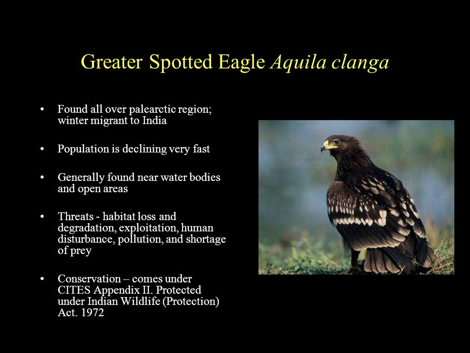 Greater Spotted Eagle Aquila clanga Found all over palearctic region; winter migrant to India Population is declining very fast Generally found near water bodies and open areas Threats - habitat loss and degradation, exploitation, human disturbance, pollution, and shortage of prey Conservation – comes under CITES Appendix II.