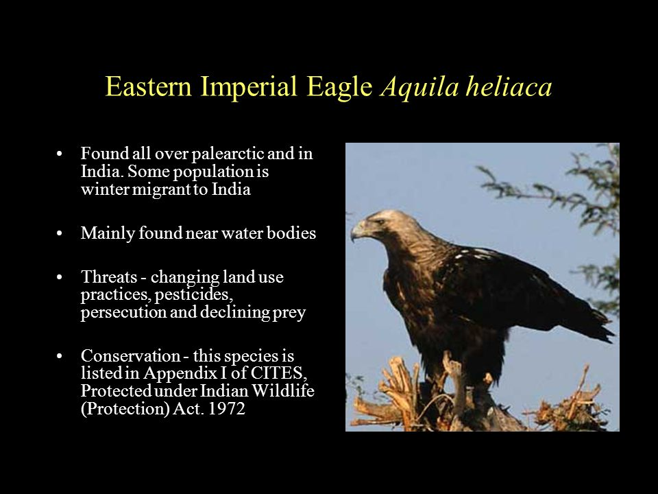 Eastern Imperial Eagle Aquila heliaca Found all over palearctic and in India.