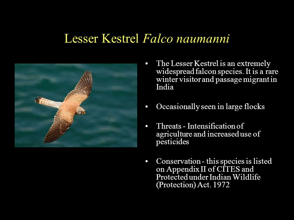 Lesser Kestrel Falco naumanni The Lesser Kestrel is an extremely widespread falcon species.