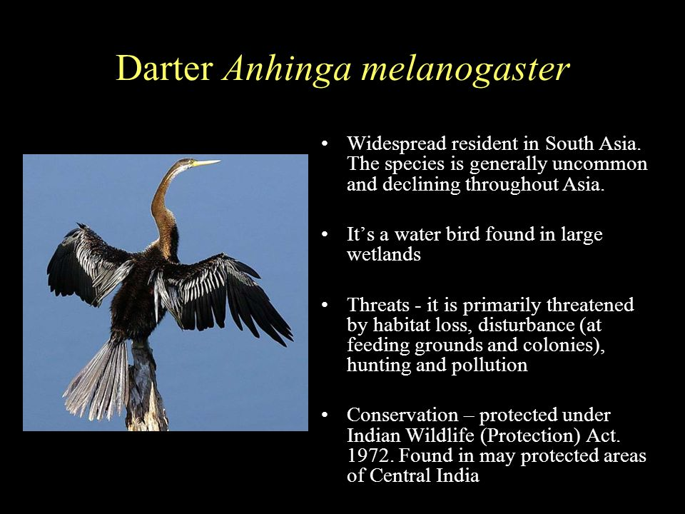 Darter Anhinga melanogaster Widespread resident in South Asia.