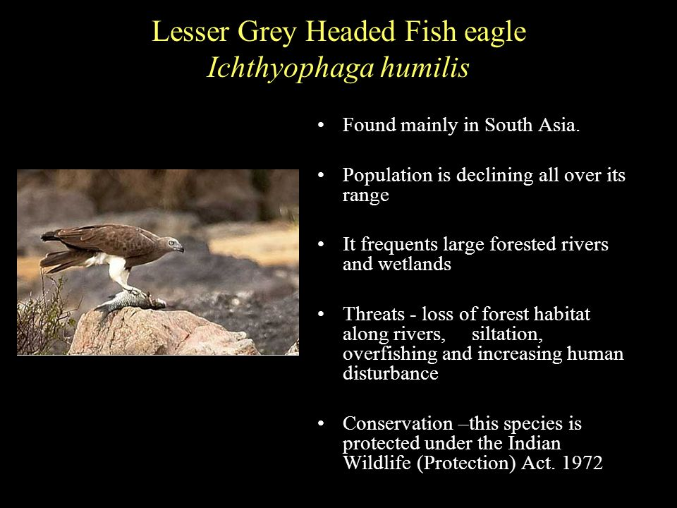 Lesser Grey Headed Fish eagle Ichthyophaga humilis Found mainly in South Asia.