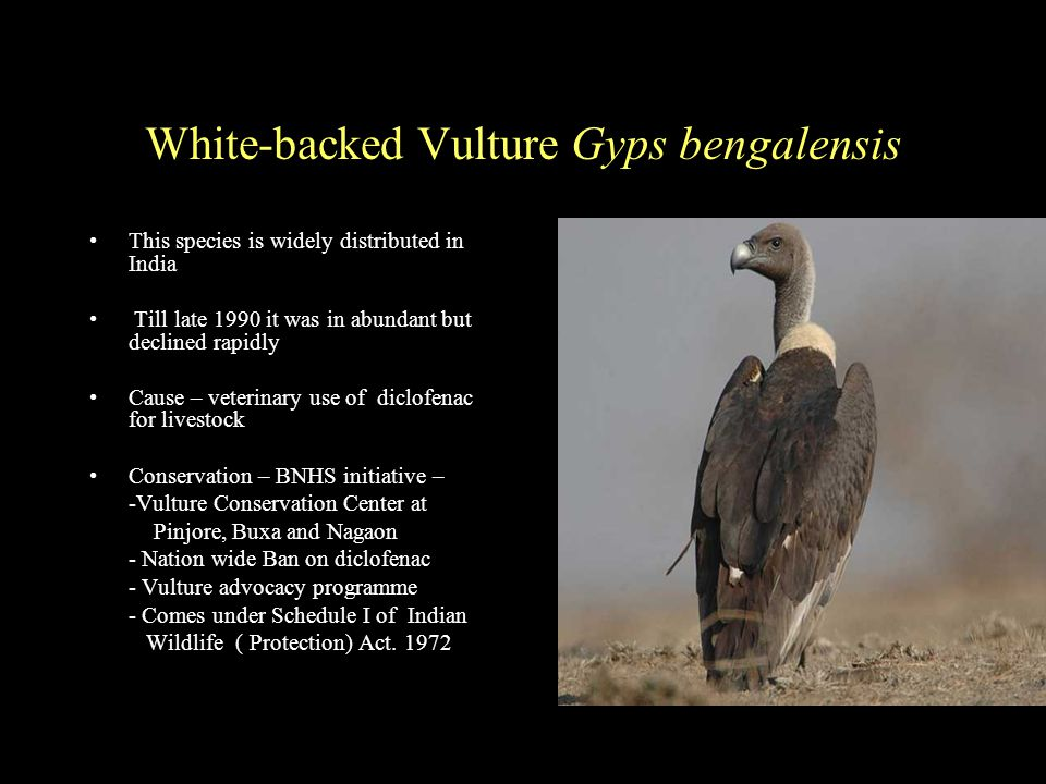 White-backed Vulture Gyps bengalensis This species is widely distributed in India Till late 1990 it was in abundant but declined rapidly Cause – veterinary use of diclofenac for livestock Conservation – BNHS initiative – -Vulture Conservation Center at Pinjore, Buxa and Nagaon - Nation wide Ban on diclofenac - Vulture advocacy programme - Comes under Schedule I of Indian Wildlife ( Protection) Act.