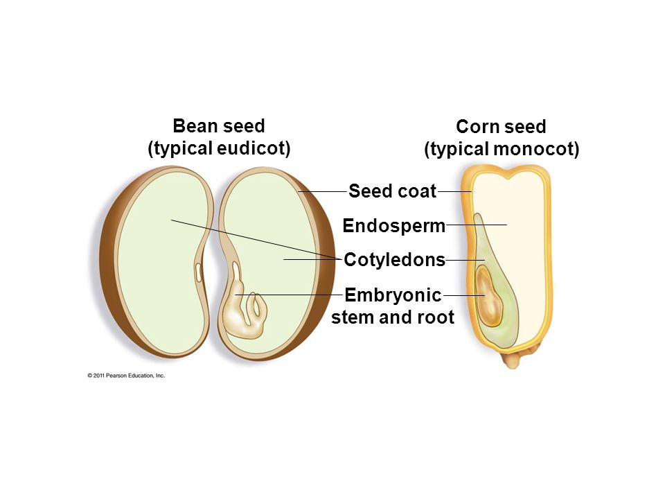 Bean seed (typical eudicot) Corn seed (typical monocot) Seed coat Endosperm Cotyledons Embryonic stem and root