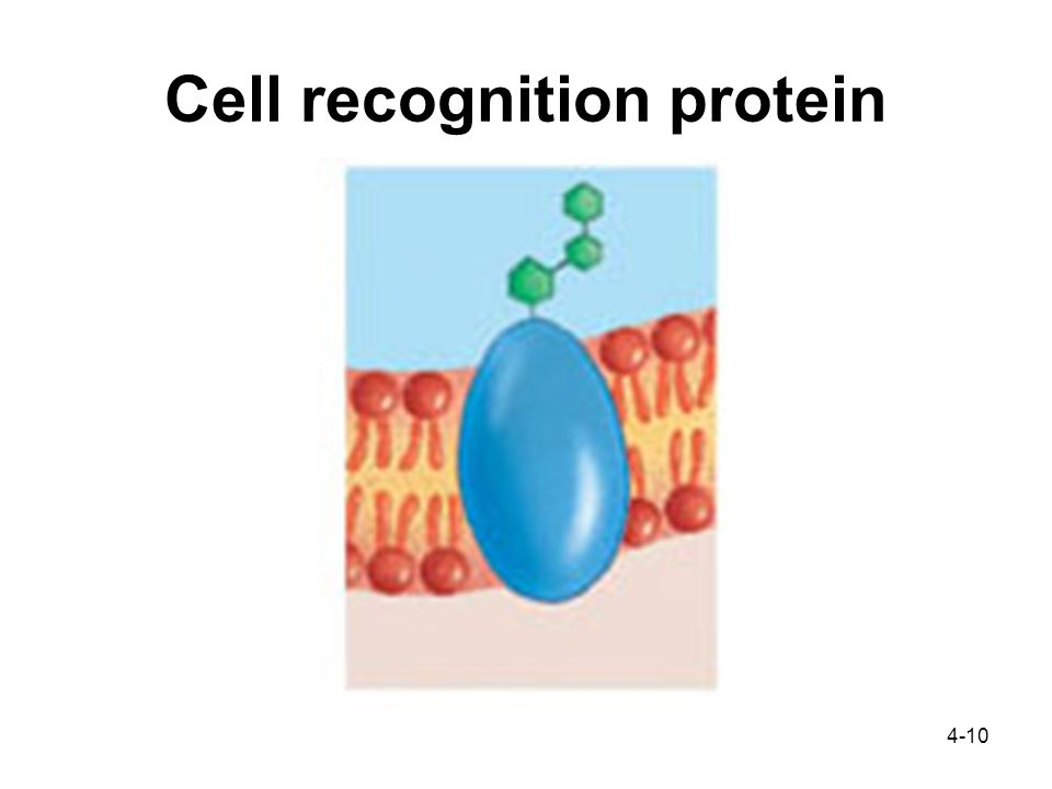 4-10 Cell recognition protein