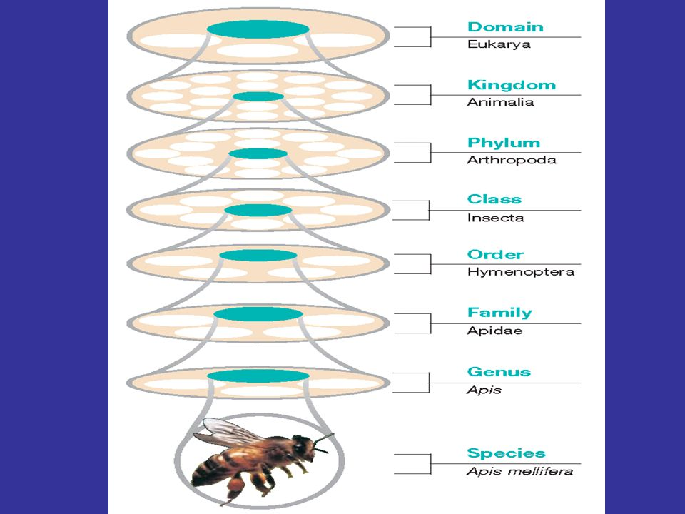 Classification of the Honeybee Each level of classification is based on characteristics shared by all the organisms it contains The honeybee's scientific name, Apis mellifera, indicates that it belongs to the genus Apis, which is classified in the family Apidae All members of the family Apidae are bees that live either alone or in hives, as does Apis mellifera