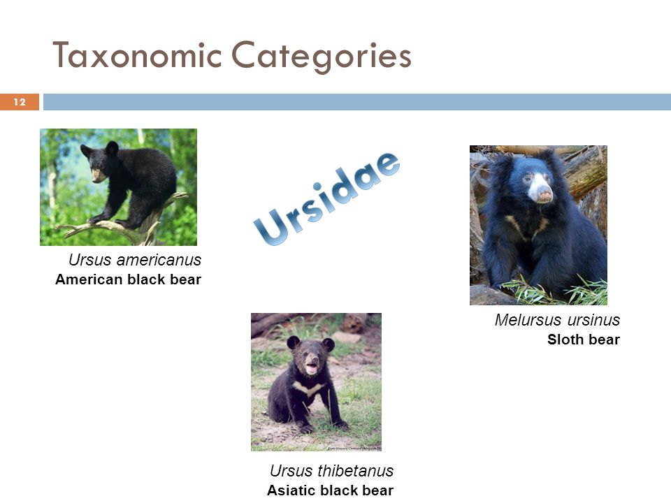 Taxonomic Categories 12 Ursus americanus American black bear Ursus thibetanus Asiatic black bear Melursus ursinus Sloth bear
