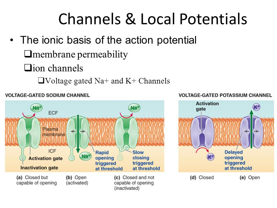 Channels & Local Potentials The ionic basis of the action potential  membrane permeability  ion channels  Voltage gated Na+ and K+ Channels
