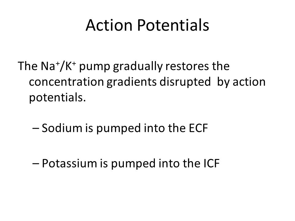 Action Potentials The Na + /K + pump gradually restores the concentration gradients disrupted by action potentials.