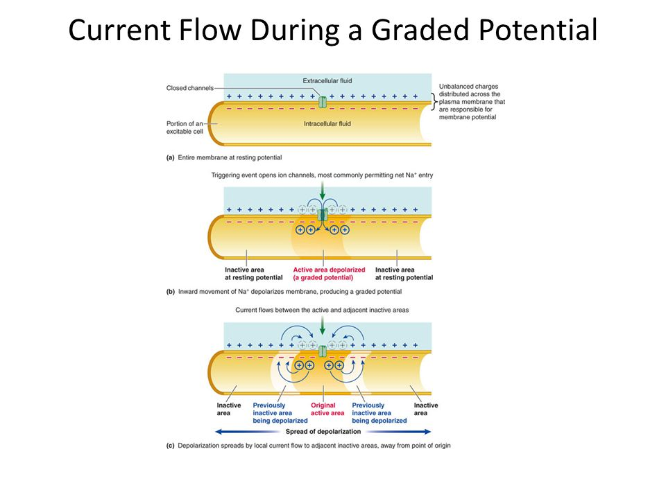 Current Flow During a Graded Potential