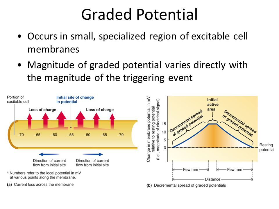Graded Potential Occurs in small, specialized region of excitable cell membranes Magnitude of graded potential varies directly with the magnitude of the triggering event