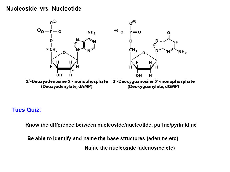 Chapter 19 nucleic acids nucleic acids represent the fourth major 17 macromolecules nucleoside vrs nucleotide tues quiz know the difference between nucleosidenucleotide purinepyrimidine be able to identify and name the ccuart Choice Image