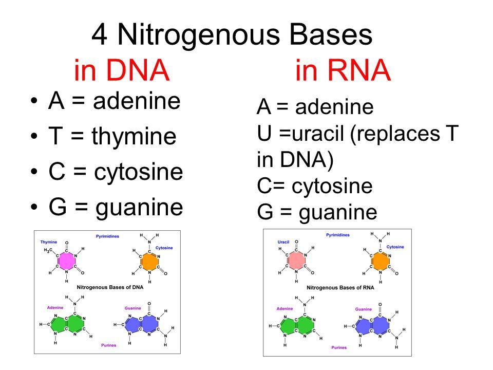 nucleic acids nucleotides 3 parts 5 c sugar phosphate group