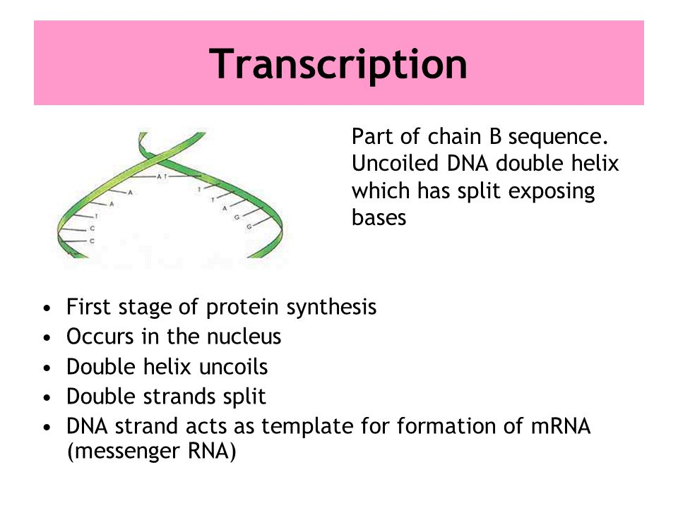 Nucleic Acids And Protein Synthesis Higher Human Biology